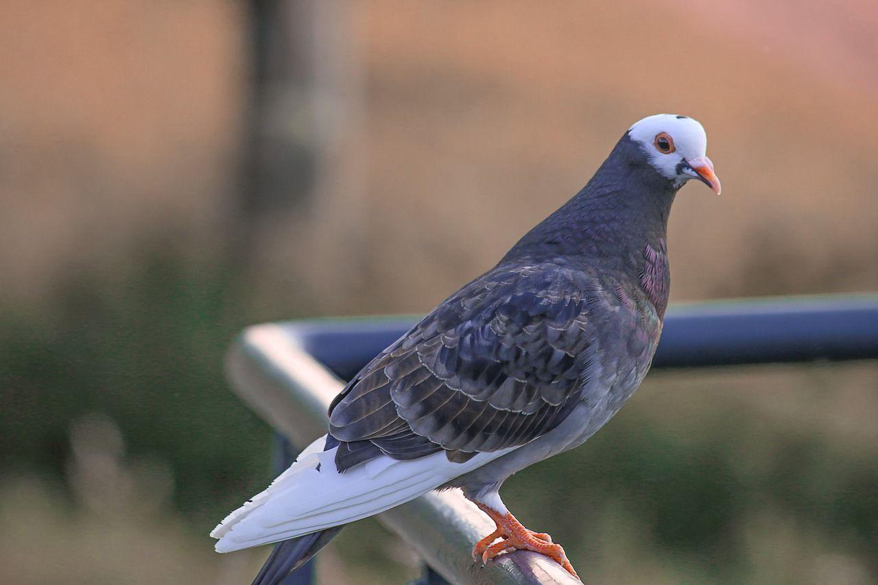 Co wpływa na dobrą hodowlę gołębi?
