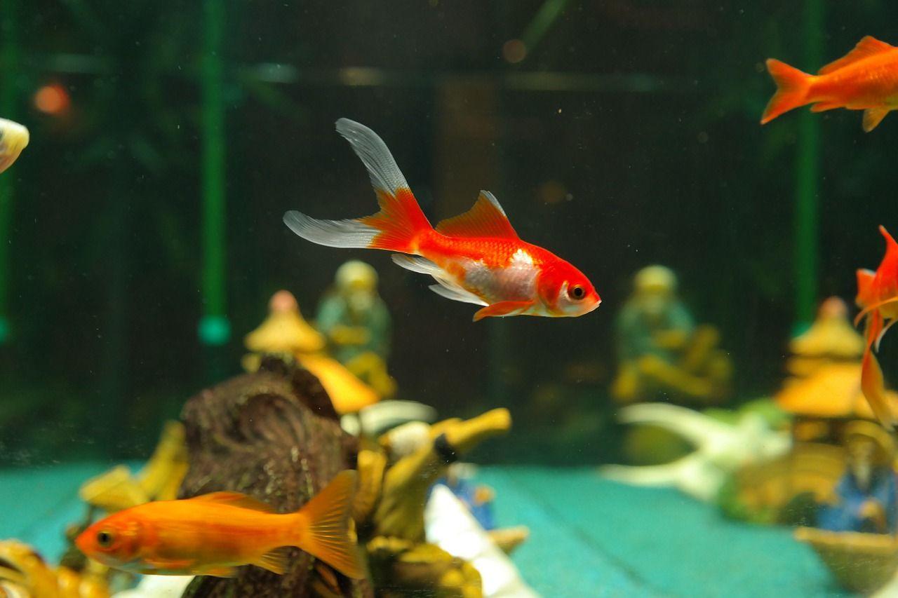 Akwarium czy oczko wodne – gdzie lepiej hodować ryby?